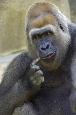 Gorilla_think_tank
